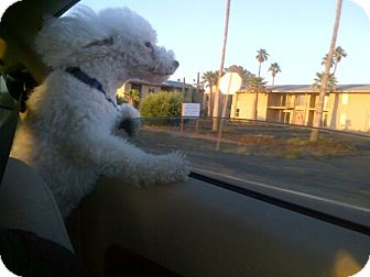 Poodle (Toy or Tea Cup)/Bichon Frise Mix Dog for adoption in Phoenix, Arizona - Jack