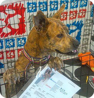 Terrier (Unknown Type, Medium)/Australian Cattle Dog Mix Dog for adoption in Phoenix, Arizona - Stella