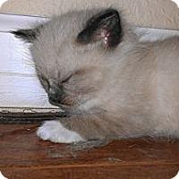 Adopt A Pet :: Simon - Morgan Hill, CA