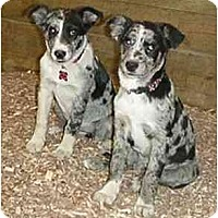 Adopt A Pet :: Wooster Blues!!! - Tiffin, OH