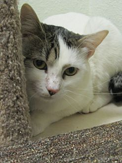 Domestic Shorthair Cat for adoption in Oakland, Oregon - Caesar