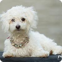 Adopt A Pet :: Bean - Salem, OR