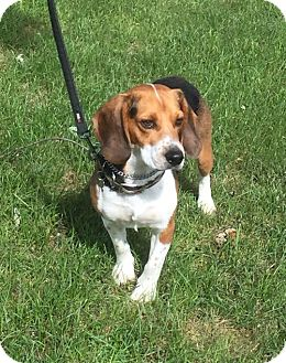 Beagle Dog for adoption in Detroit, Michigan - Eldred aka Jake-Adopted!