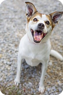 Jack Russell Terrier/Beagle Mix Dog for adoption in Portland, Maine - Muffy (Senior Discount)