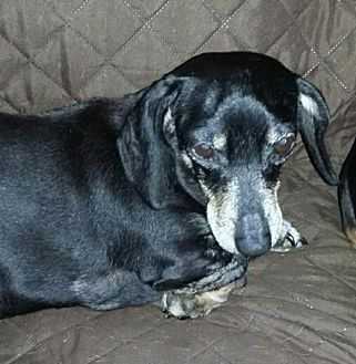 Dachshund Dog for adoption in Pearland, Texas - Cocoa