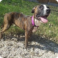 American Staffordshire Terrier/Boxer Mix Dog for adoption in Von Ormy, Texas - Radiance