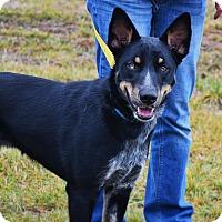 Adopt A Pet :: Silas - Manassas, VA