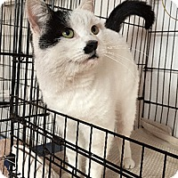 Domestic Shorthair Cat for adoption in Oakland, California - Charlie
