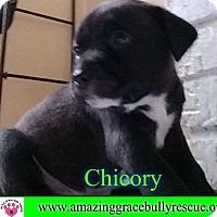 Adopt A Pet :: Chicory - Pensacola, FL