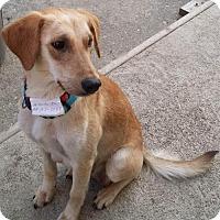 Adopt A Pet :: Ginger - Hillside, IL