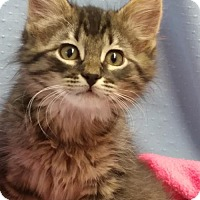 Domestic Longhair Kitten for adoption in Greenville, Illinois - Regal