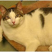 Domestic Shorthair Cat for adoption in Milford, Massachusetts - Joe and Joseph