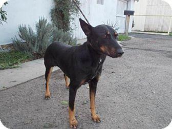 Doberman Pinscher Dog for adoption in Bakersfield, California - Sunnee
