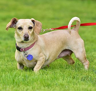Dachshund Mix Dog for adoption in Santa Monica, California - Selina