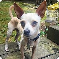 Chihuahua Mix Dog for adoption in Alpharetta, Georgia - Eldon