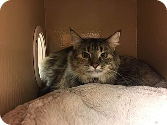 Maine Coon Cat for adoption in Rocklin, California - Fiddler