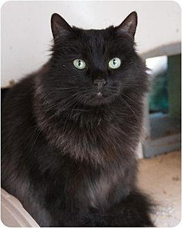 Domestic Longhair Cat for adoption in Corinne, Utah - Kiwi