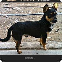Adopt A Pet :: Dominic - Thousand Oaks, CA
