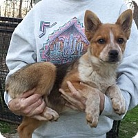 Australian Cattle Dog/Corgi Mix Puppy for adoption in Chichester, New Hampshire - Honey--arriving soon
