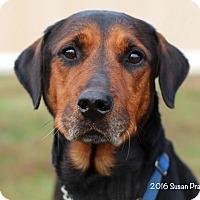 Adopt A Pet :: Levi - Bedford, VA