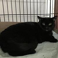 Adopt A Pet :: Shadow - Whitehall, PA