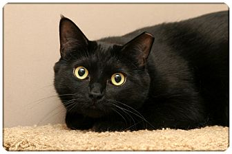 Domestic Shorthair Cat for adoption in Sterling Heights, Michigan - Noir - ADOPTED!