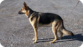 German Shepherd Dog Dog for adoption in Tully, New York - DRAGO