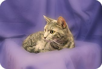 Domestic Shorthair Cat for adoption in Richmond, Virginia - Louise
