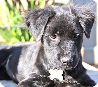 Labrador Retriever/Papillon Mix Puppy for adoption in Norwalk, Connecticut - Louise