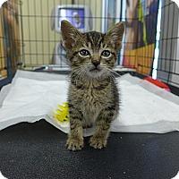 Adopt A Pet :: Pip - Lighthouse Point, FL