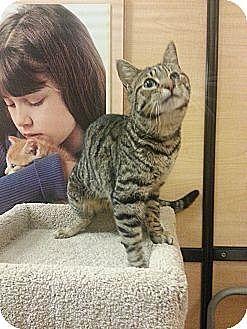 Domestic Shorthair Cat for adoption in McKinney, Texas - Sundance