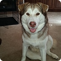 Adopt A Pet :: Red Rosie - Augusta County, VA