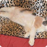 Adopt A Pet :: Valentine (Kaylee) - Wauconda, IL
