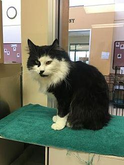 Domestic Longhair Cat for adoption in Reno, Nevada - PAULINE
