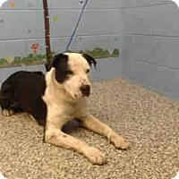 Pit Bull Terrier Mix Dog for adoption in San Bernardino, California - URGENT on 3/2 SAN BERNARDINO