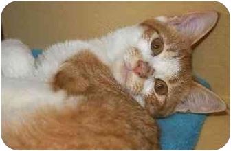 Domestic Shorthair Cat for adoption in Woodstock, Georgia - Helena