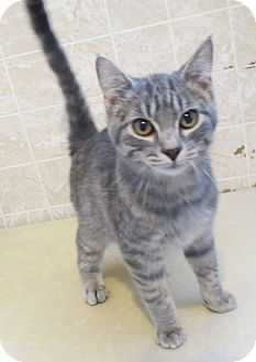 Domestic Shorthair Cat for adoption in Geneseo, Illinois - Eric