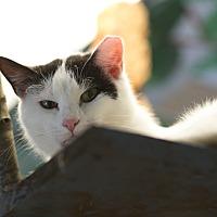 Adopt A Pet :: Ozzy Ozborne - Walden, NY