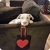 Adopt A Pet :: Havok - Westminster, MD