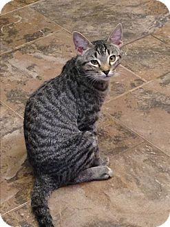 Domestic Shorthair Cat for adoption in Redding, California - Barn Cat----Ben