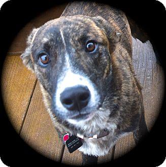 Feist/Dutch Shepherd Mix Puppy for adoption in Ijamsville, Maryland - Sawyer