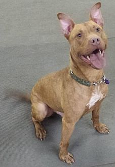 Pit Bull Terrier/Terrier (Unknown Type, Medium) Mix Dog for adoption in Akron, Ohio - Spector