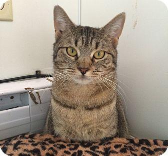 Domestic Shorthair Kitten for adoption in Middletown, New York - Dory