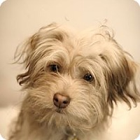 Havanese Mix Dog for adoption in Pittsburg, California - Chewy.COM Kibble -- RAISING FUNDS FOR SURGERY
