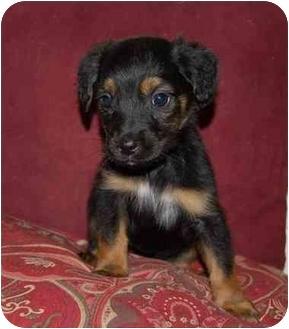 Spaniel (Unknown Type)/Labrador Retriever Mix Puppy for adoption in Chula Vista, California - Angel