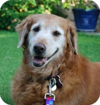 Golden Retriever Mix Dog for adoption in Scottsdale, Arizona - Josie