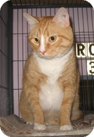Domestic Shorthair Cat for adoption in Shelton, Washington - Whiskers