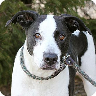 Retriever (Unknown Type) Mix Dog for adoption in Springfield, Illinois - Sweet Pea