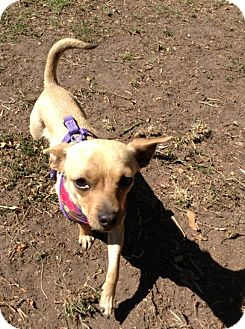 Chihuahua Mix Puppy for adoption in Santa Barbara, California - Skylar