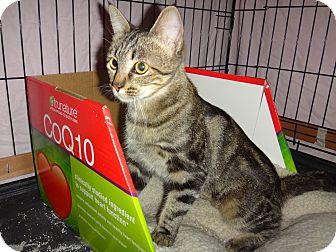 Bengal Cat for adoption in Escondido, California - Tina Louise